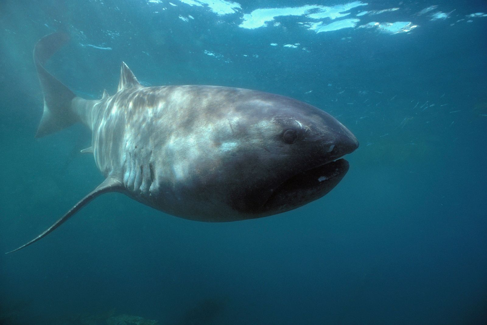 A megamouth shark, rarely spotted alive, is pictured off the coast of California. The smallest of ...