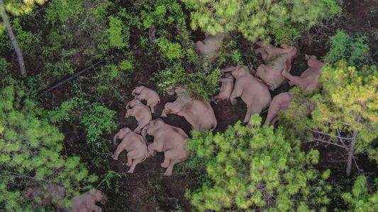 How to keep China's wayward wandering elephants safe?