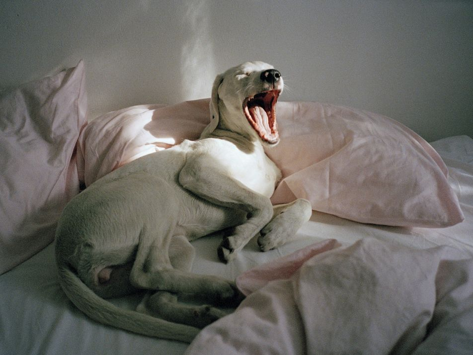 Many mammals are contagious yawners—this might be why.