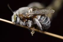 A male burrowing bee covered in parasitic blister beetle larvae, which make pheromones that mimic those ...