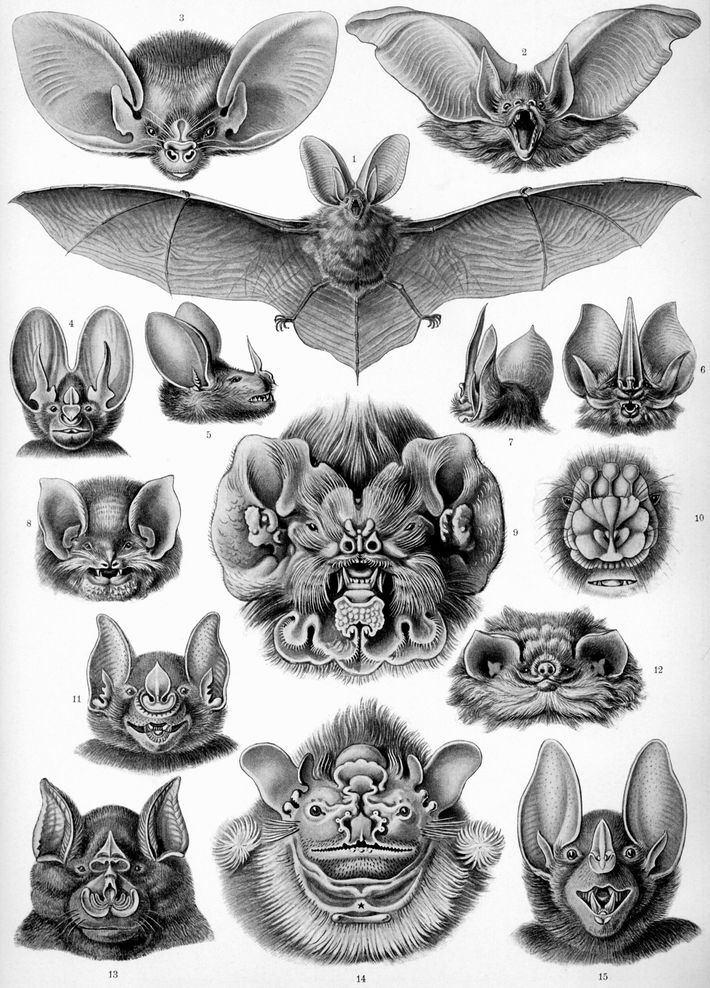 Details of bat faces illustrated by Ernst Haeckel in 1904's Kunstformen der Natur hint at the fascination with the ...
