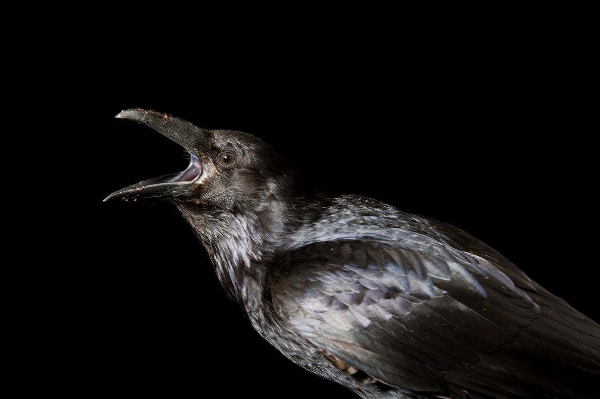 """""""With their shiny black feathers, beady eyes, and habit of feeding on carrion,"""" says Mayor, it's ..."""