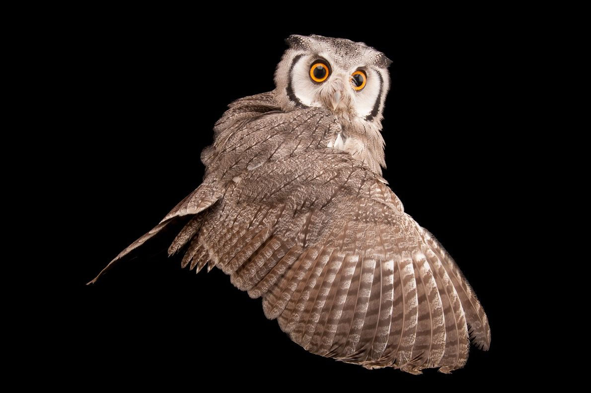 """""""In ancient Rome and medieval Europe, it was said witches transformed into owls to fly at ..."""