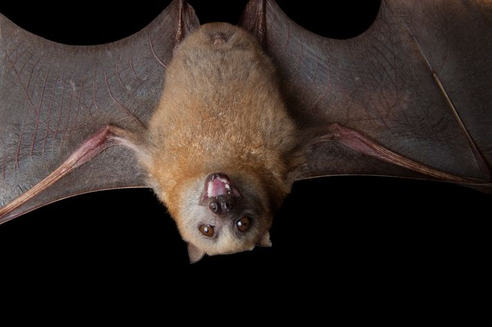 As the only mammal that can fly, bats were considered enigmatic beings—possibly with nefarious motives—in ancient ...