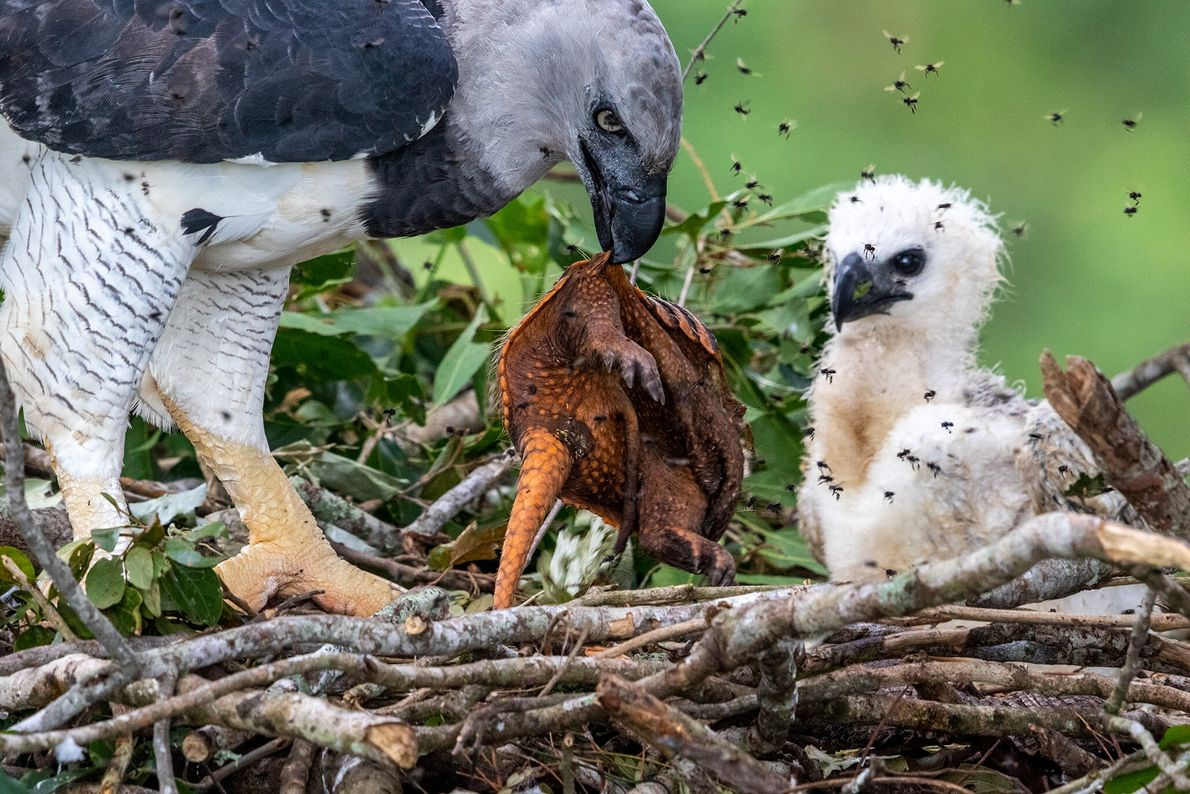 A harpy eagle provides a freshly killed armadillo as a meal for its hungry chick in ...