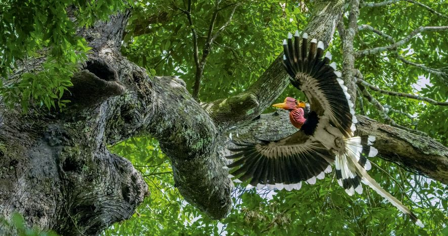 In a forest in southern Thailand, a male helmeted hornbill approaches a tree where his mate ...