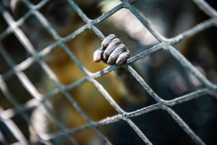 The 25 confiscated monkeys—including the golden-bellied mangabey pictured here—idle in temporary holding cages in Chirundu, near ...