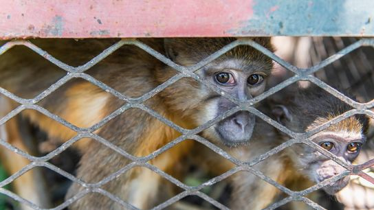 Twelve endangered golden-bellied mangabeys and 13 other monkeys were confiscted by Zimbabwe wildlife authorities in September. ...