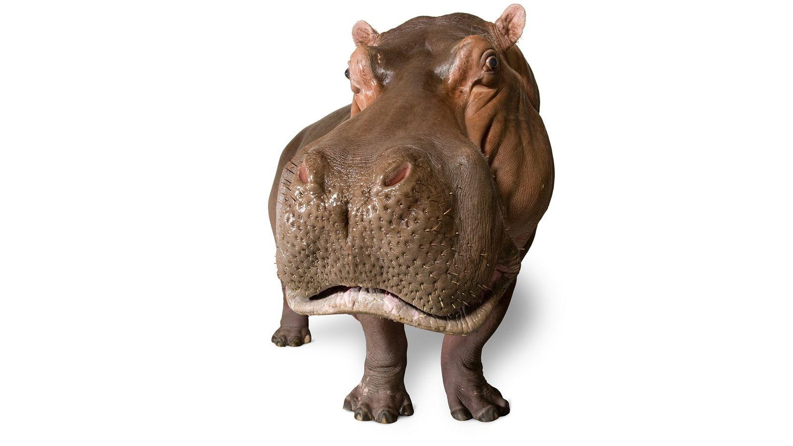 hippopotamus_02