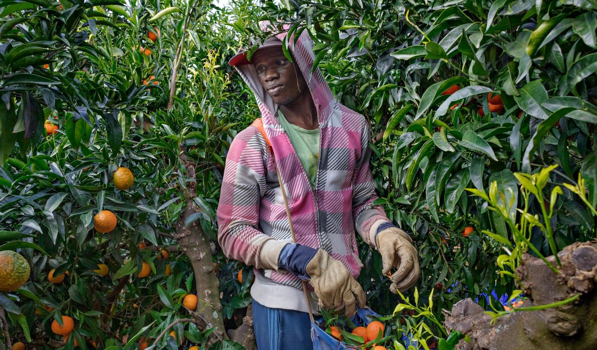 Wearing work gloves, a migrant from Senegal gathers fruit at a farm in Spain.