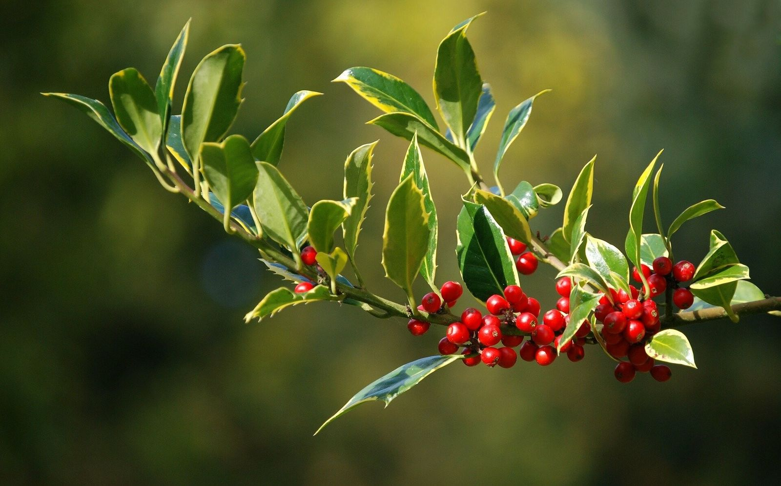Holly has mixed resonance when it comes to the Christmas season – and for many represents ...