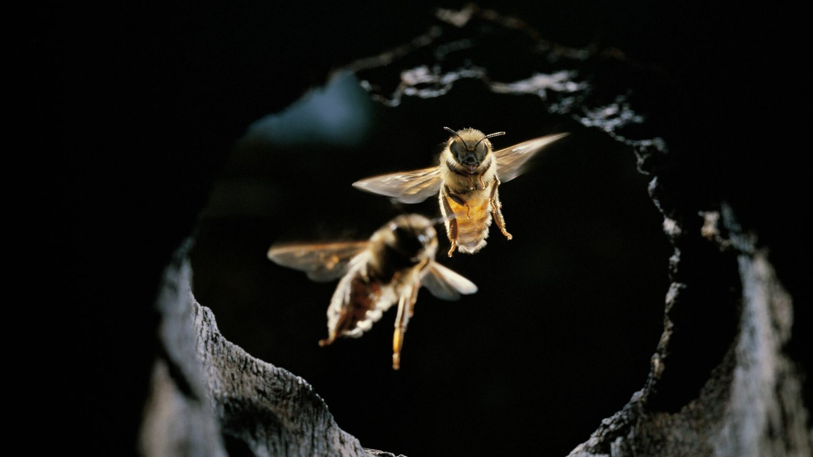 Asian honeybees have evolved a variety of tricks to ward off attacks from giant hornets.