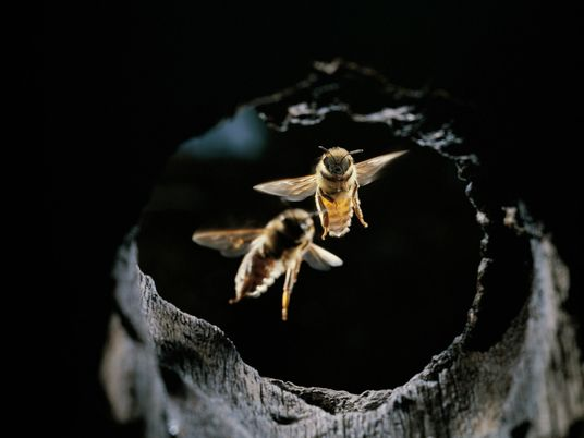 Honeybees found using tools, in a first—to repel giant hornet attacks