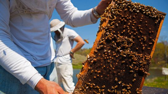 Beekeepers in Pennsylvania bring in honeybees to pollinate fruit tree orchards. Honeybees don't only provide us ...