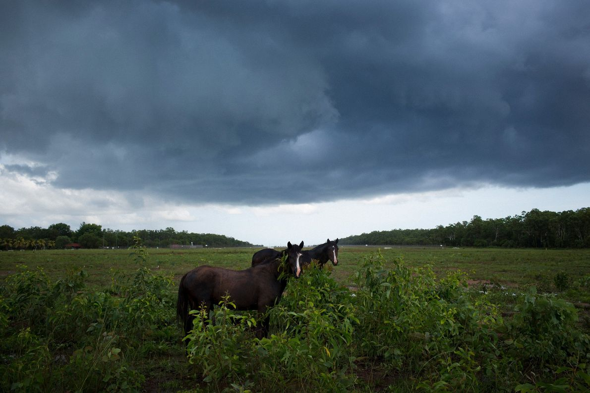 Wild Brumbies, or free roaming feral horses, feed near a small airport in the community of ...