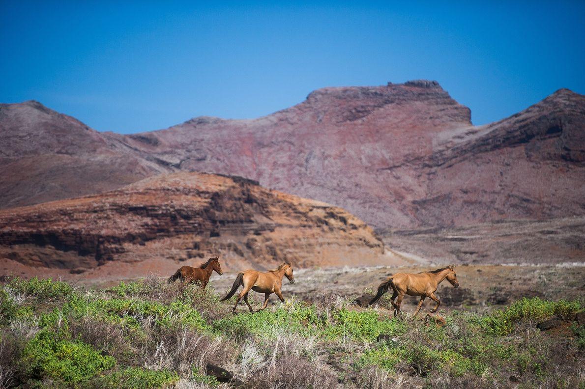 Wild horses flee as Marquesan cowboys approach.