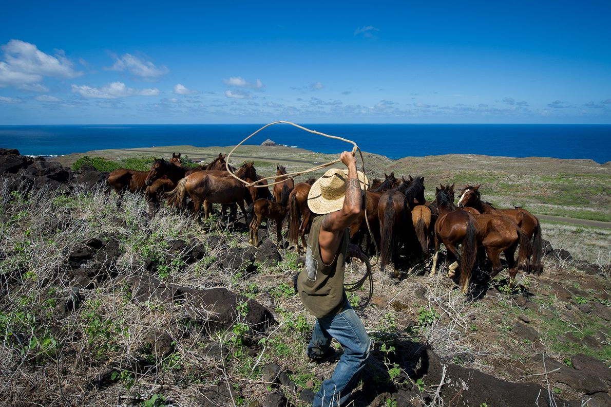 Ua Huka's riders surround a group of horses and capture them with a lasso.