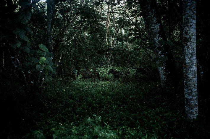 A group of wild horses runs through a falcata forest on the Hiva Oa plateau.
