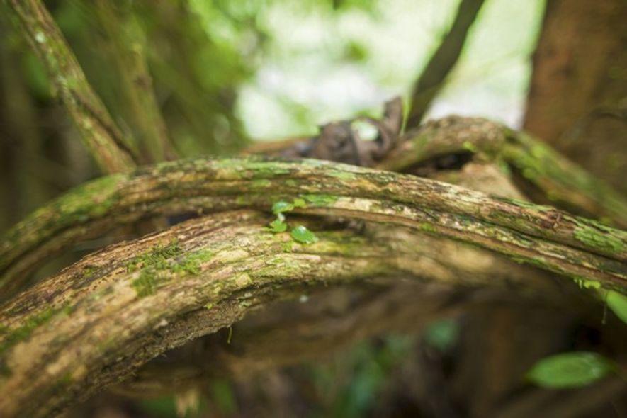 The ayahuasca plant