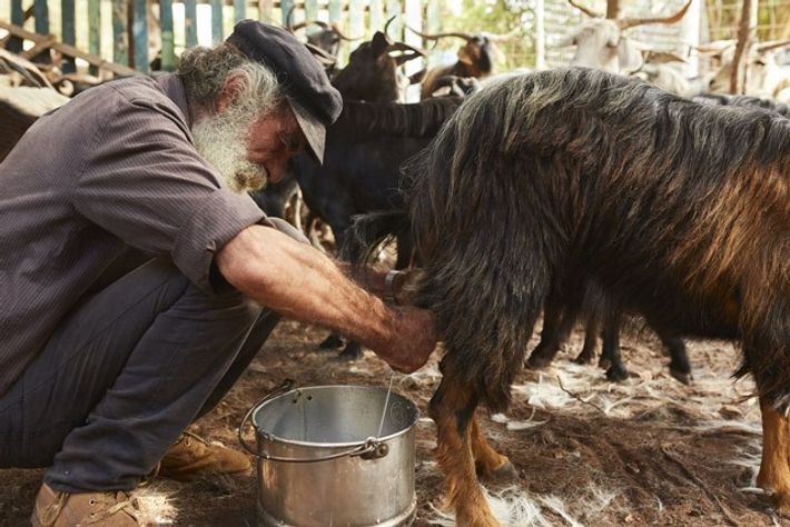 Milking time on the Greek island of Kefalonia