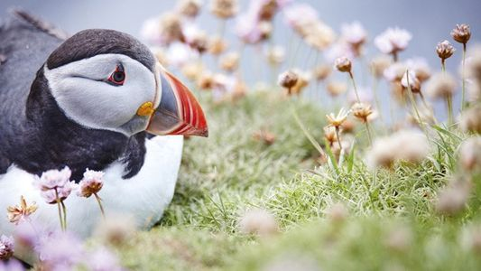 Photography: Capturing Atlantic puffins