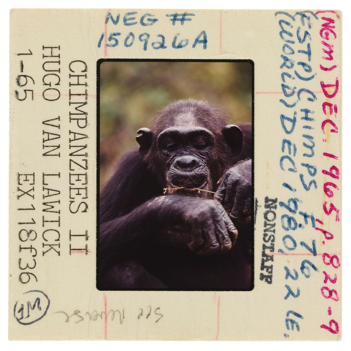A chimpanzee nips off termites on a blade of grass with her lips. Jane was the ...