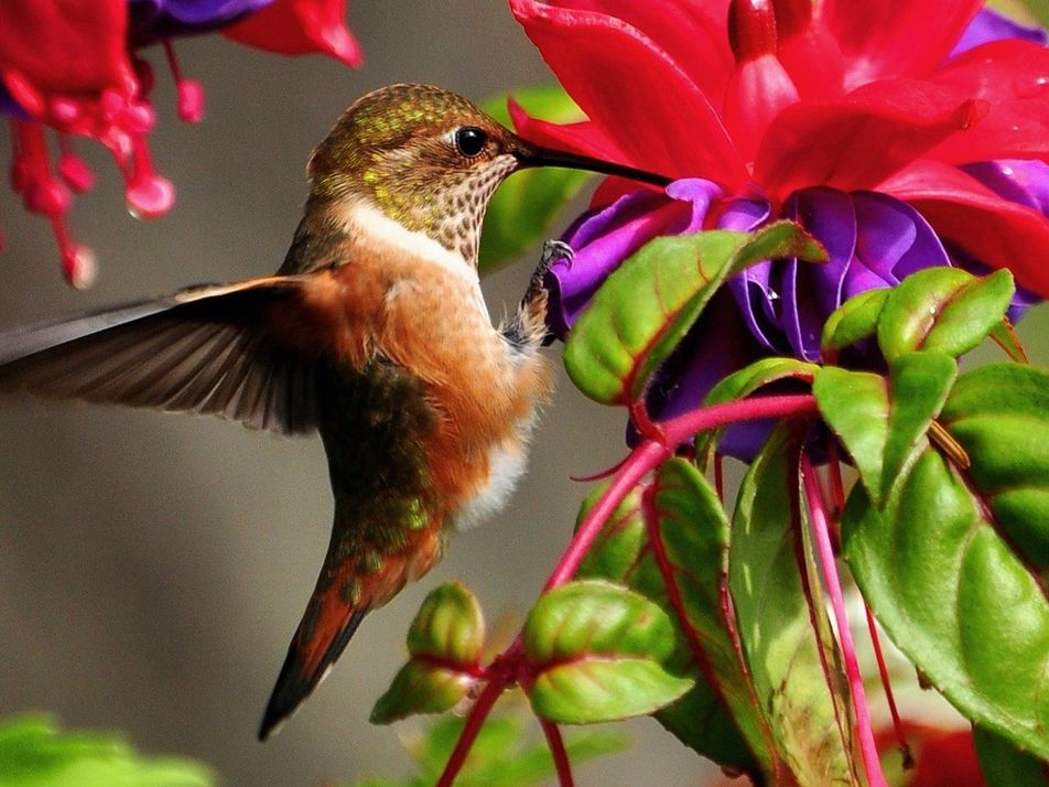 Masters of flight! See hummingbirds in super slow-mo