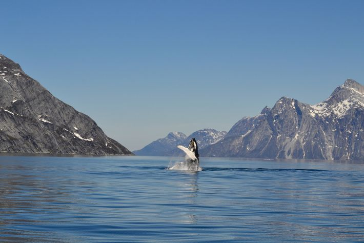 A humpback whale breaching the water in Nuuk Fjord.During the summer months,whale-watching tripsare organised from most ...
