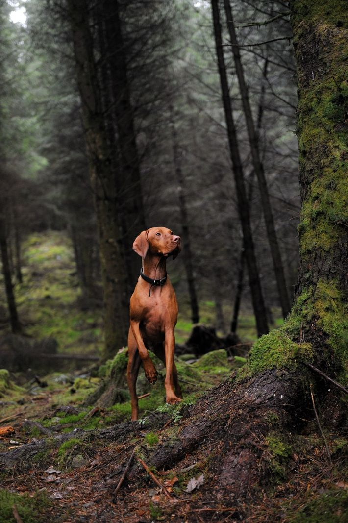 A Hungarian vizsla poses in Queen Elizabeth Forest Park in Scotland. Historically the breed accompanied hunters, ...