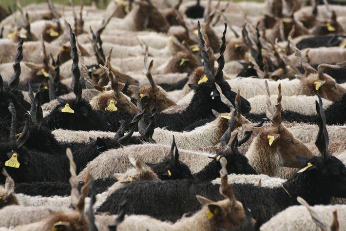 Herd of Racka sheep