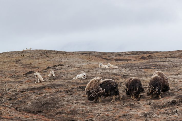 The wolves keep three male muskoxen in their sights. To kill one of these animals, which ...