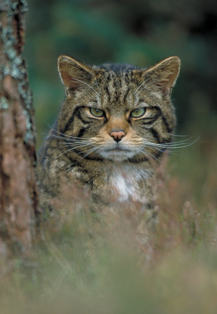 A Scottish wildcat photographed in pinewoods, Cairngorms National Park. Markings, or 'pelage', are a key way ...