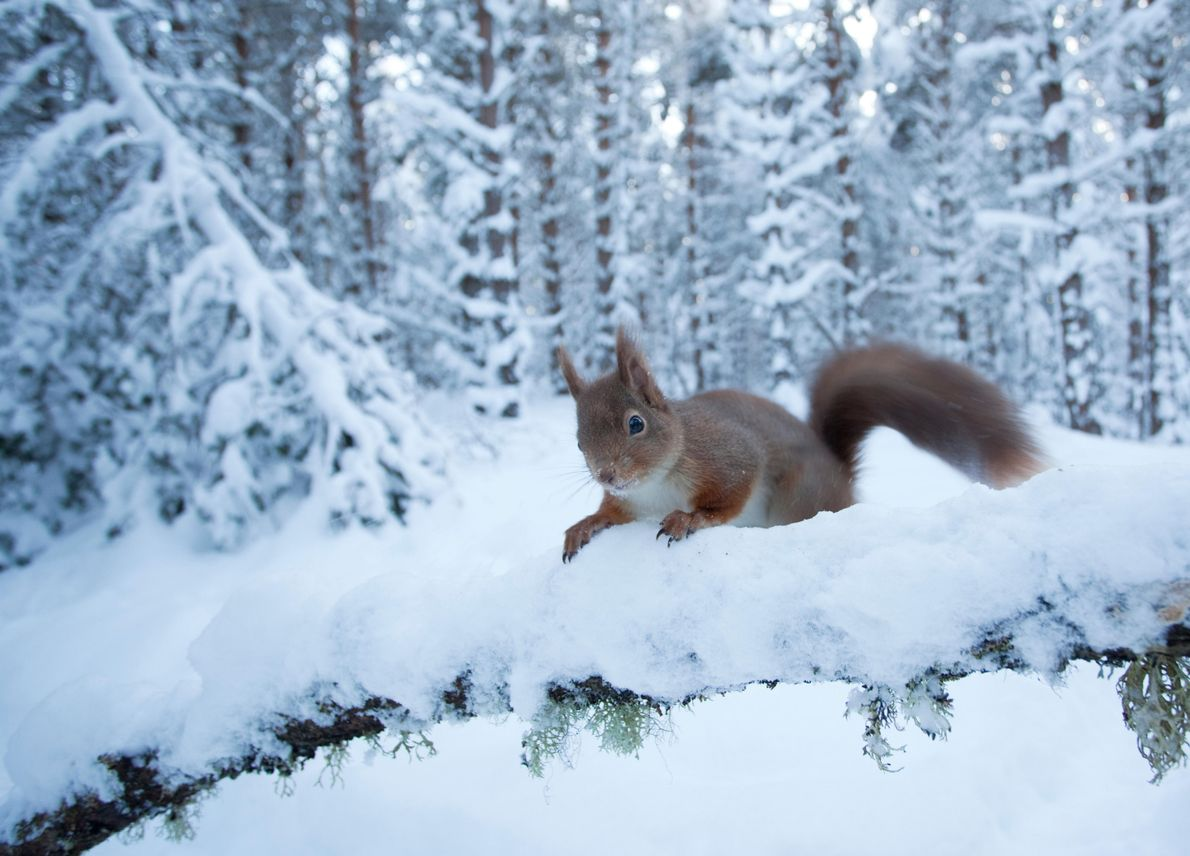 Red squirrels, capercaillie, wild cat and pine marten are some of the animals that make the ...
