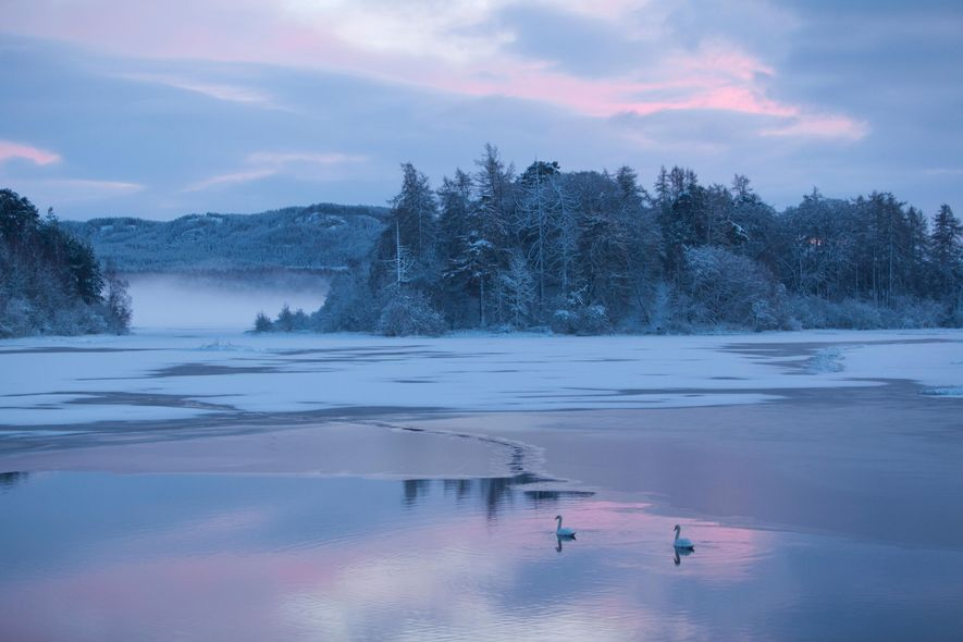 A pair of mute swans on Loch Insh, Cairngorms National Park, December. January and February are ...