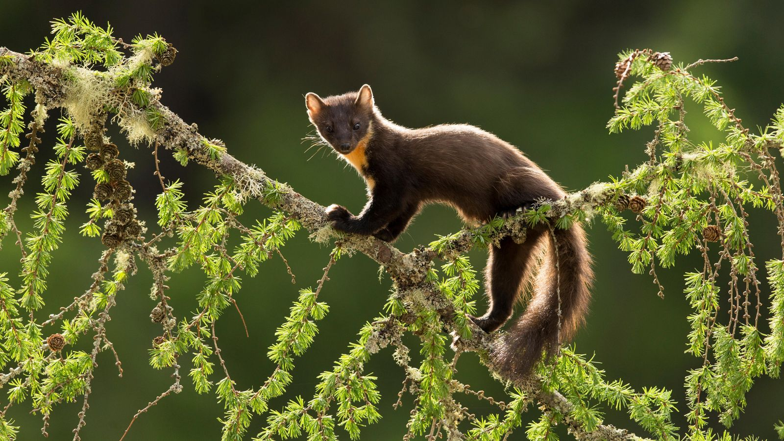 A pine marten on a larch branch in the Highlands. Reasonably well-established in Scotland, the pine ...