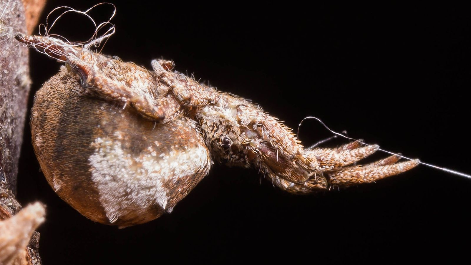 In a laboratory experiment, Hyptiotes cavatus holds its web taut, with its anchor line on the ...