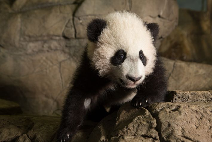 In addition to her newborn, Mei Xiang also has three surviving children: Tai Shan, Bao Bao, ...