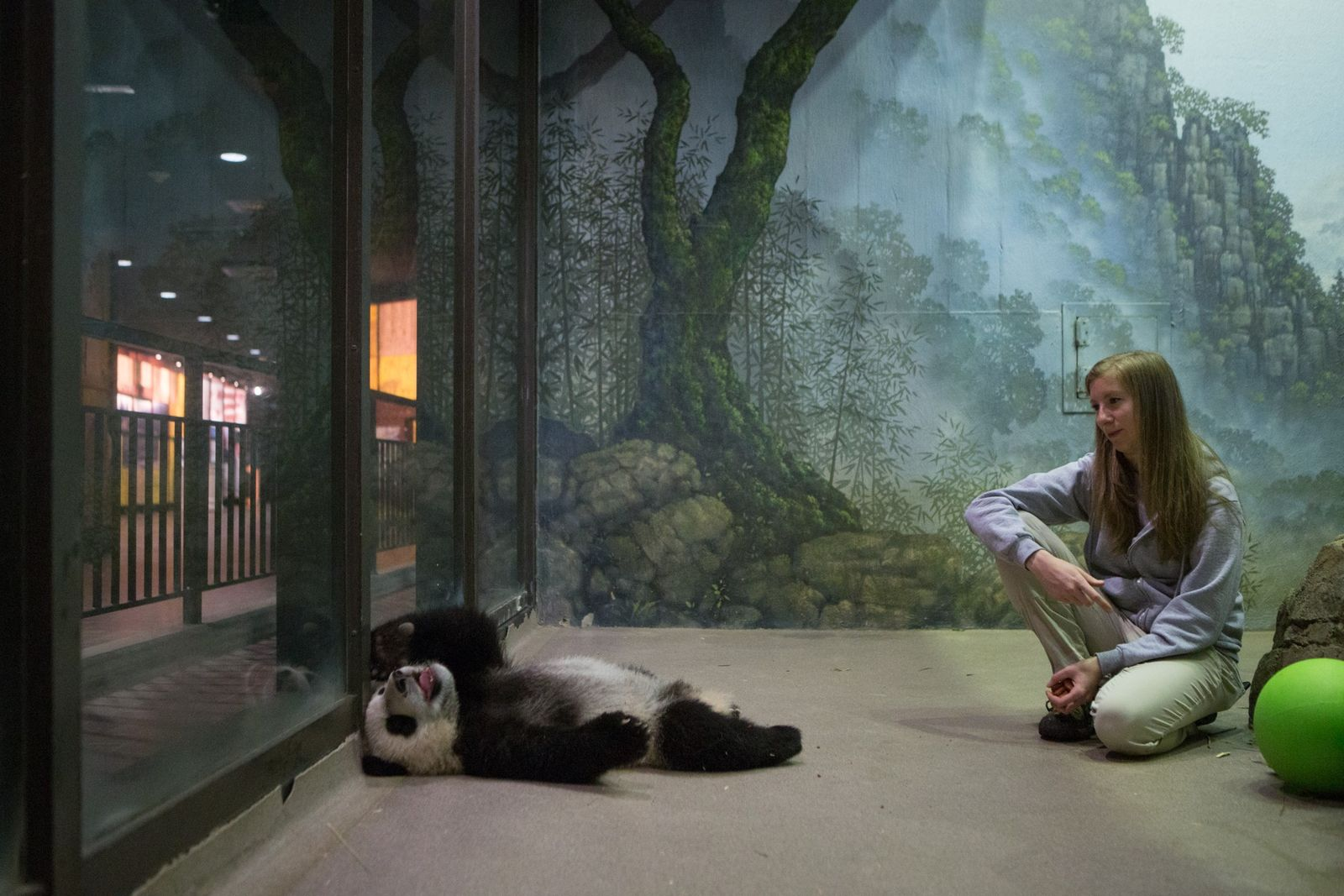 Keepers at the National Zoo begin to train giant panda cubs when they're about five months ...