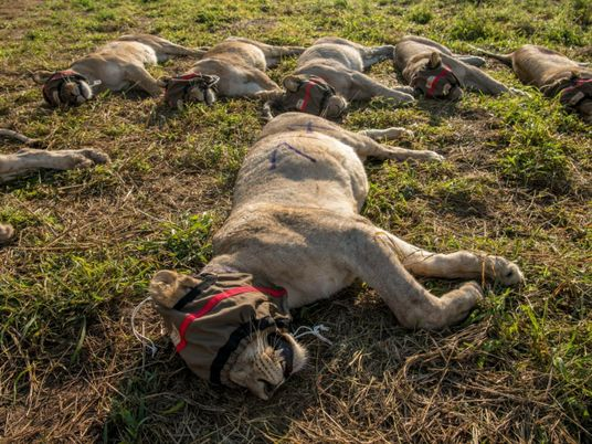 When lions eat livestock, relocation is common—but often deadly