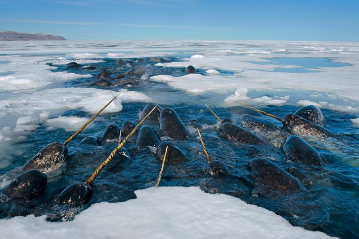 Narwhals rest in a hole in the sea ice in Lancaster Sound, Nunavut, Canada.