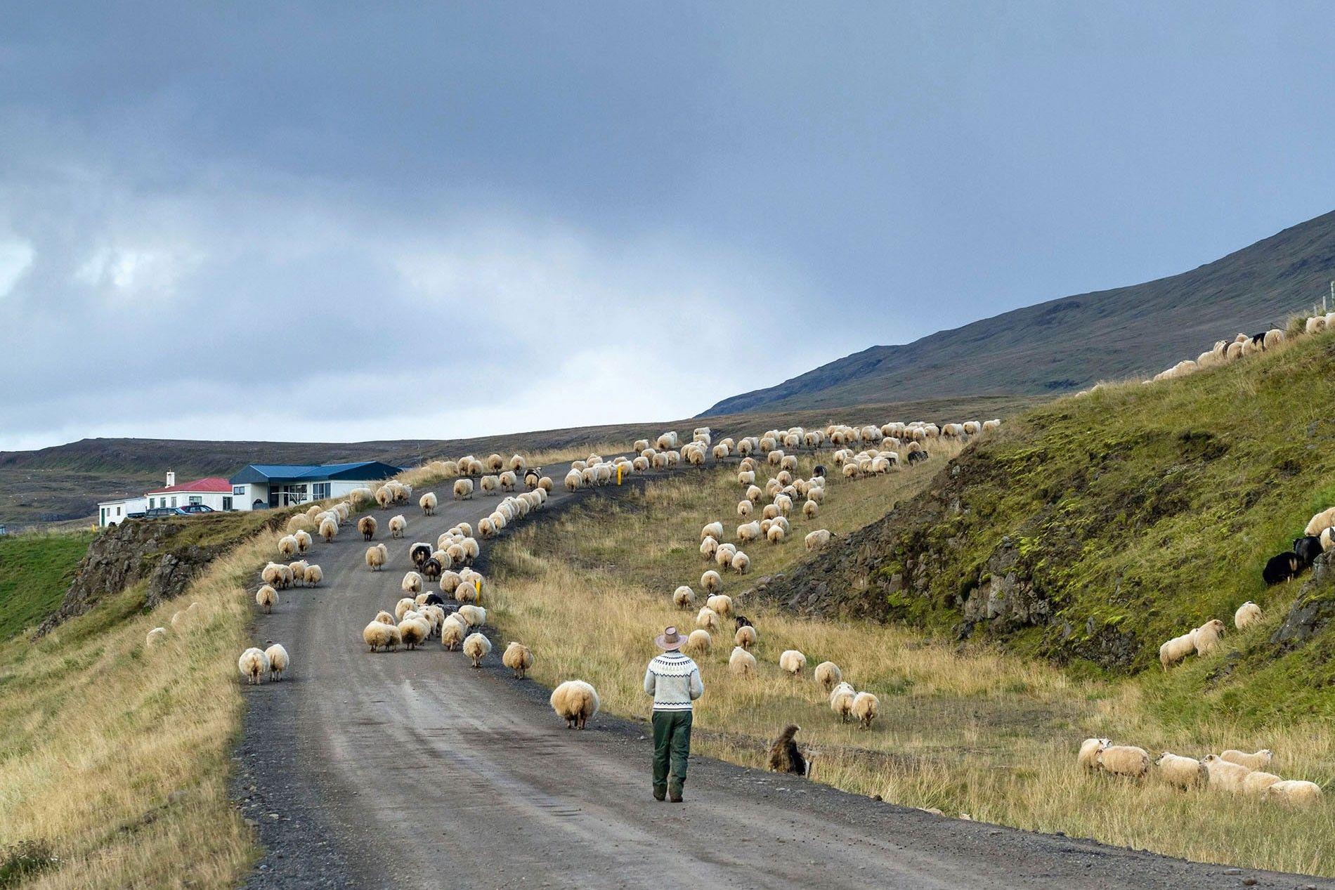 A shepherd herds his sheep down a dirt road in Vatnsnes Peninsula.