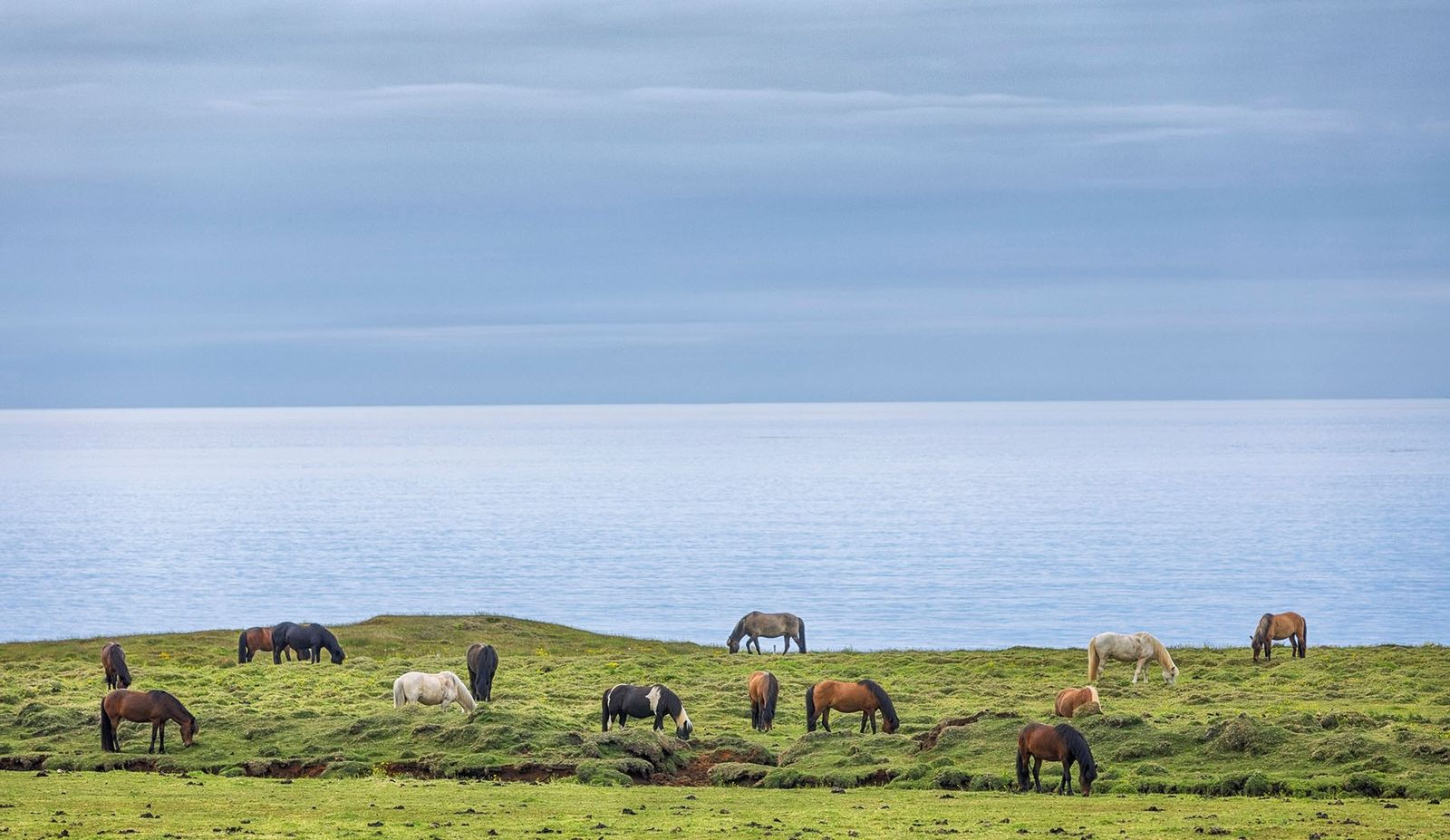 Icelandic horses beside a fjord.