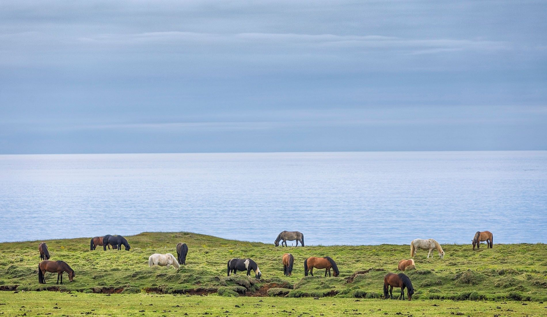 Icelandic horses beside a fjord.