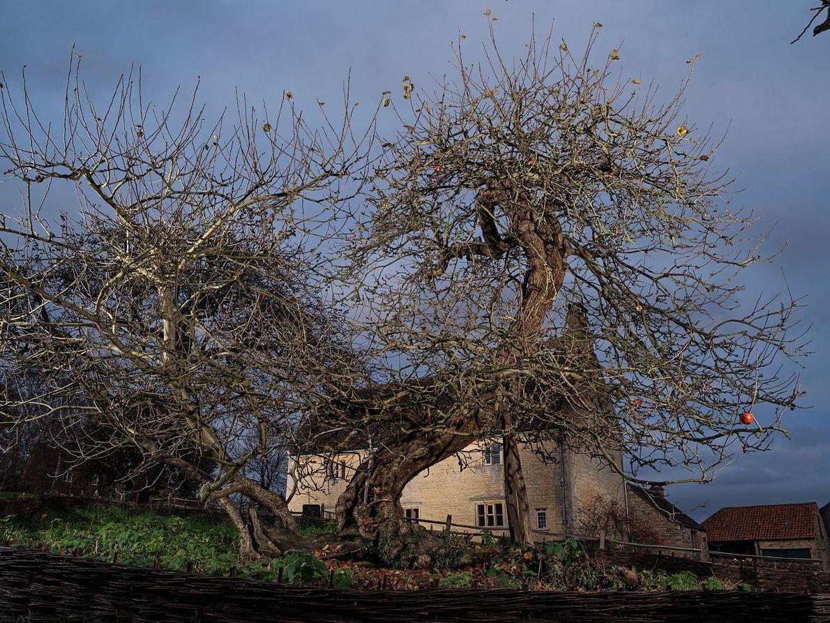 Newton's Apple Tree: Lincolnshire, England