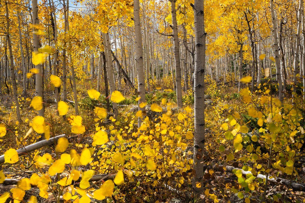 Pando Grove: Fishlake National Forest, Utah