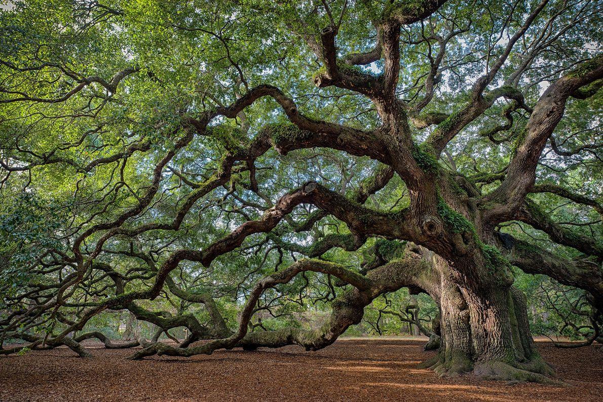 Angel Oak: Charleston, South Carolina