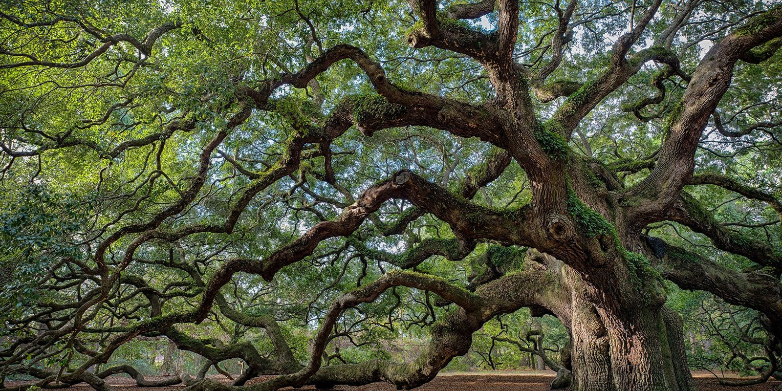 The World's Canopy: Celebrating Trees