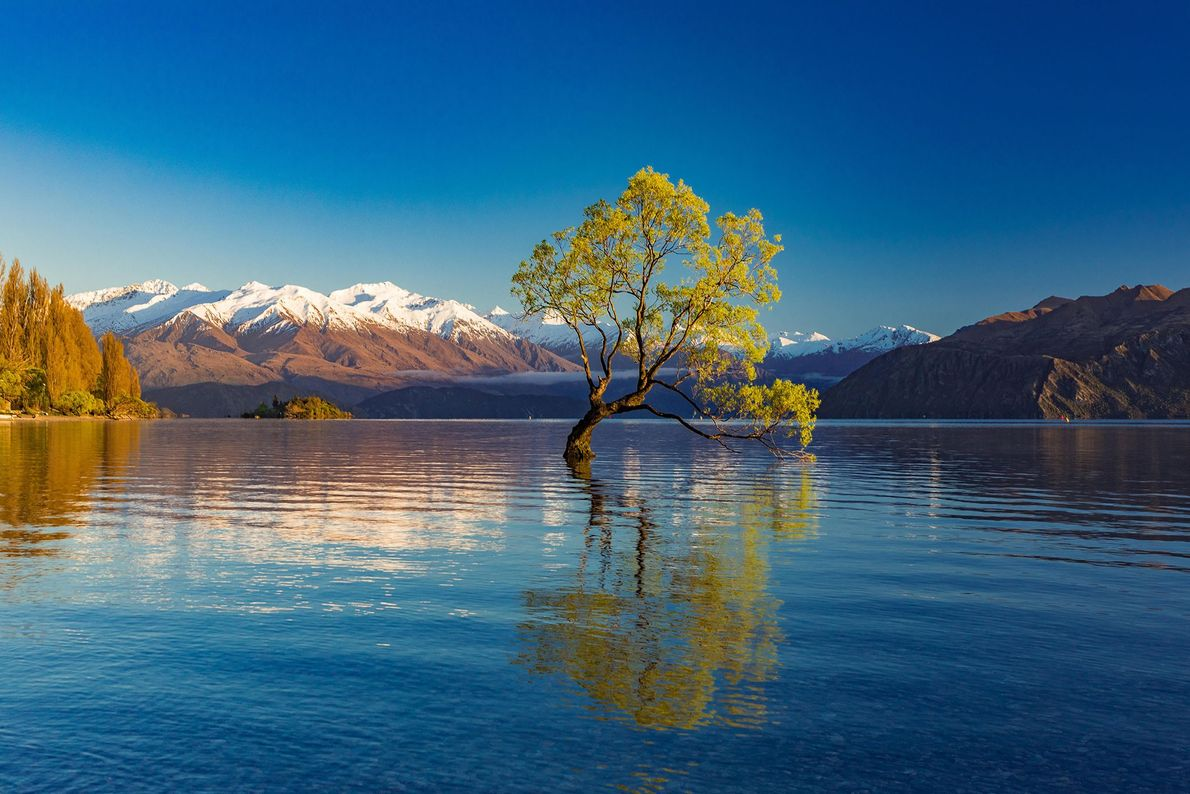 Seeming to sprout from the depths of New Zealand's Lake Wanaka, this lonely willow tree has ...