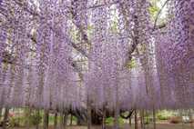 Wisteria: Ashikaga Flower Park, Japan