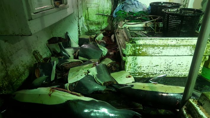 Dolphin carcasses are strewn on the deck of a vessel tracked by the Environmental Justice Foundation. ...
